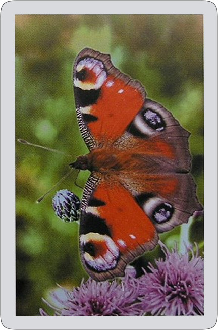 Butterfly Single playing card deck - Peacock